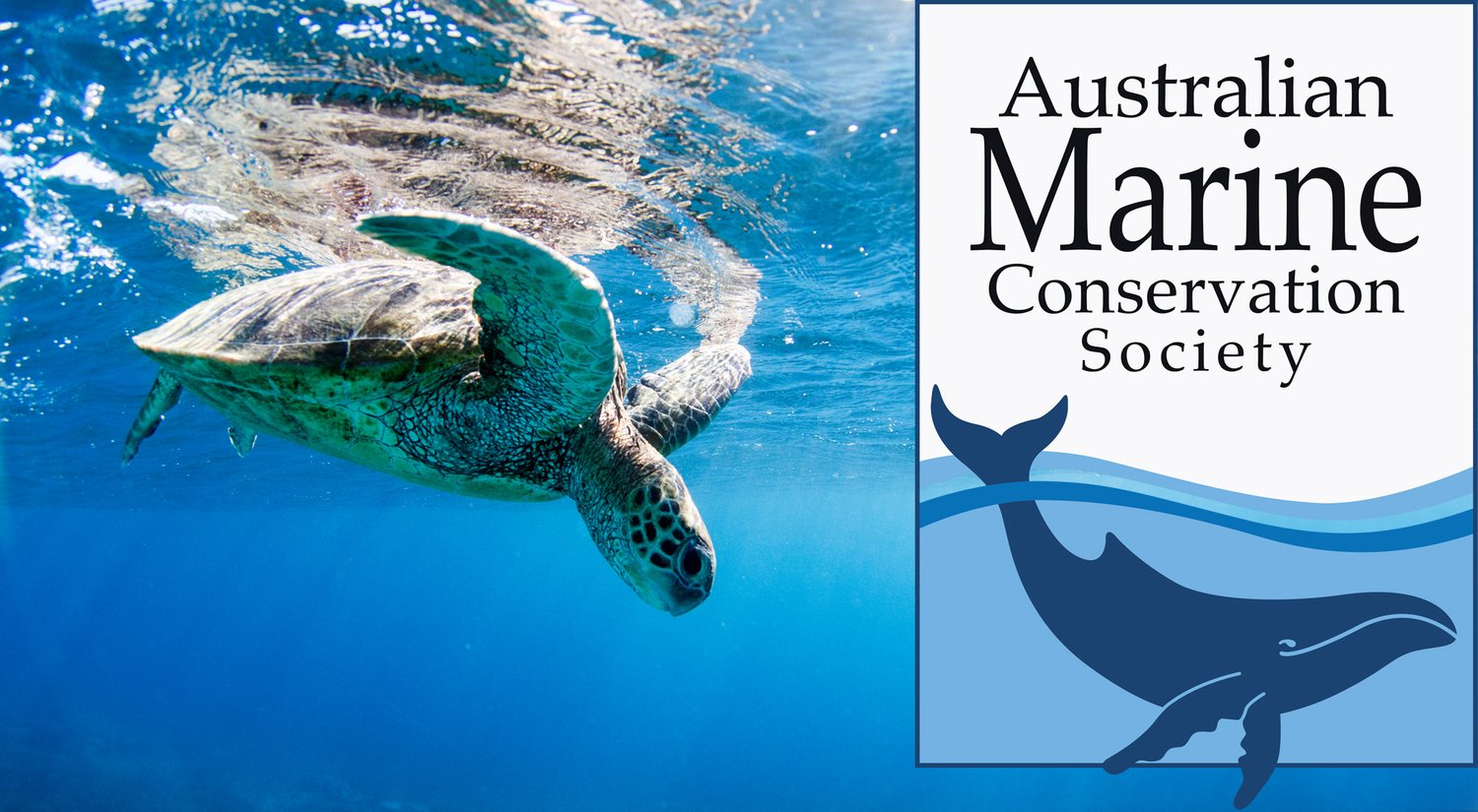 RIPPLE EFFECT the change Australian Marine Conservation Society (AMCS) support statement - Sea Turtle diving into blue Australian waters